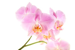 Orchid. Beauty Orchid on the white background Stock Images