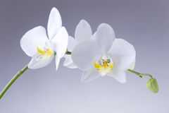 Orchid. White orchid plant on grey background Royalty Free Stock Photos