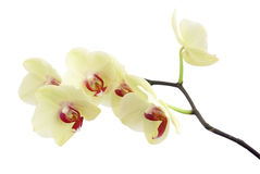 Orchid. Delicate beige orchid branch on white stock image