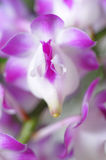 Orchid. Thai orchids grown as ornamental plants Royalty Free Stock Photography
