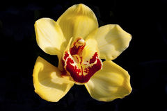 Orchid. Closeup of a yellow Orchid on black background Royalty Free Stock Photos