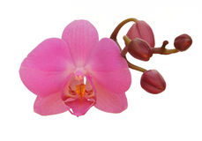 Free Orchid Royalty Free Stock Photo - 17994135