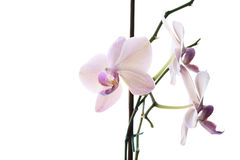 Orchid. Nice orchid on white background Stock Images