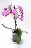 orchid ροζ Στοκ Εικόνα