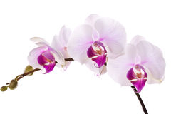 Free Orchid Royalty Free Stock Photos - 18202368