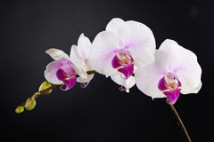 Free Orchid Stock Photo - 18210890