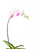 Orchid. Isolated beautiful orchid in white background Stock Photos