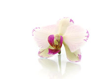 Orchid. Close up orchid on white background Royalty Free Stock Image