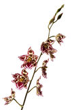 Orchid. Beauty orchid set against a plain background Stock Photography
