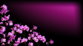 Orchid. Beautiful pink orchid flower on black background Stock Photography