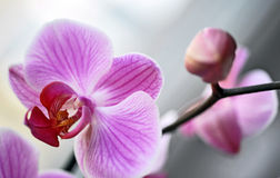 Free Orchid Royalty Free Stock Photos - 18747438