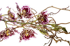 Orchid. Beauty orchid set against a plain background Royalty Free Stock Image