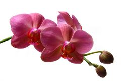 Orchid. Isolated on white background Royalty Free Stock Photos