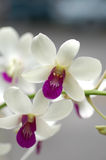 Orchid 2. Orchid flower in Kuala Lumpur royalty free stock photo