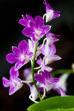Orchid. Dendrobium brilliant on a black background Royalty Free Stock Photos