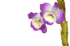 Orchid. Beautiful pink orchid  on white Stock Images