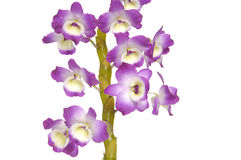 Orchid. Branch pink isolated on white Stock Image
