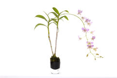 Orchid. The pink orchid in vase Royalty Free Stock Photos