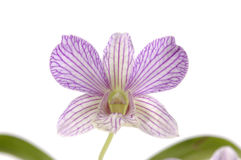 Orchid. Close up of blooming orchid Stock Images