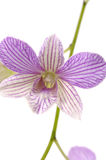 Orchid. Close up Beautiful Spring orchid Royalty Free Stock Photo