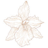 Orchid. Vector illustration with orchid flowers in engraving style Royalty Free Stock Images