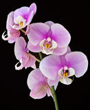 Orchid. Flowers against a black background Stock Photography