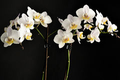 Orchid. A white orchid in the morning light Royalty Free Stock Image