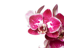 Orchid. Close-up of orchid isolated on white background stock photo
