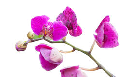 Orchid Royalty Free Stock Image
