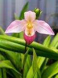 γυναικείο orchid παντόφλα Στοκ φωτογραφία με δικαίωμα ελεύθερης χρήσης
