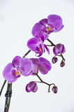 Orchid. Close up with pink orchid Royalty Free Stock Images