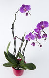 Orchid. Close up with pink orchid on white background Royalty Free Stock Photos
