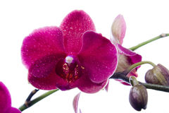 orchid Arkivfoton