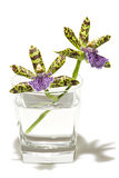Orchid. Branch with orchid flowers in glass with water, genus Zygopetalum. Isolated on white background Stock Image