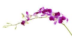 Orchid. Violet orchid on white background Royalty Free Stock Image