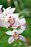 Orchid. In the garden, Chiang mai, Thailand Stock Image