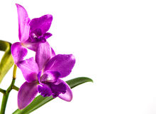 Orchid. Beautiful orchid flower on white background Royalty Free Stock Photos