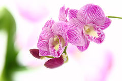 Orchid. Stock Photos