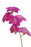 Orchid. Pink orchid on a white background Royalty Free Stock Photos
