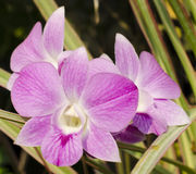 Orchid. Beautiful purple orchids in garden Royalty Free Stock Photography