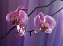 Orchid - 3 Royalty Free Stock Photos