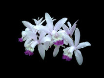 Orchid 3. White and purple orchids isolated on black Stock Image
