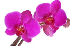 Orchid. Pink orchid on white background Stock Photography