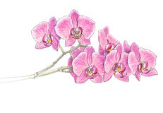 Orchid. Felt-tip pen on paper Royalty Free Stock Photo