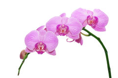 Orchid. On a white background Stock Image