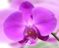 orchid Στοκ Εικόνα