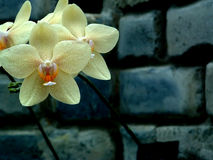 Orchid 4. Yellow orchids against a dark grey stone will Stock Photos