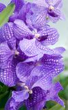 Orchid. Flowers of a beautiful dark blue orchid Stock Images