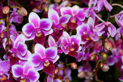 Orchid. Colorful orchid blooming in the garden Stock Photos