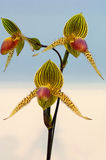 Orchid. Colorful orchid blooming on a isolated background Stock Photo